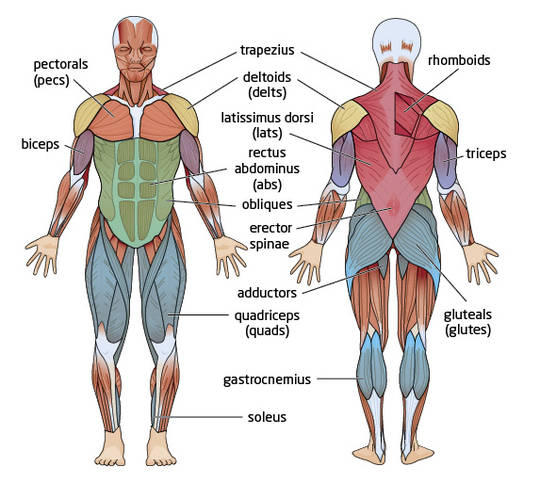Worksheet Muscle Identification Worksheet category human body systems class site picture